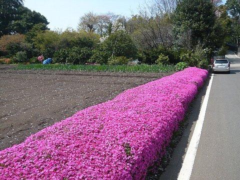シバ桜(東方町).jpg