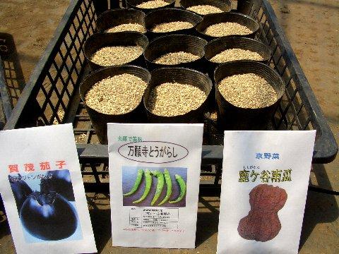 京野菜の播種.jpg